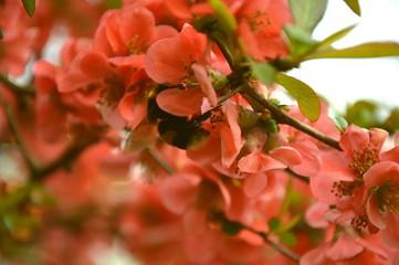 Pigwa Flower