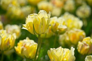 Tulips in garden in sunny day. Spring flowers. Gardening. Variety Akebono.