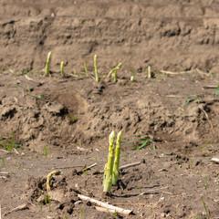 Spargelstangen wachsen auf dem Feld. Standort: Deutschland, Nordrhein-Westfalen, Heiden