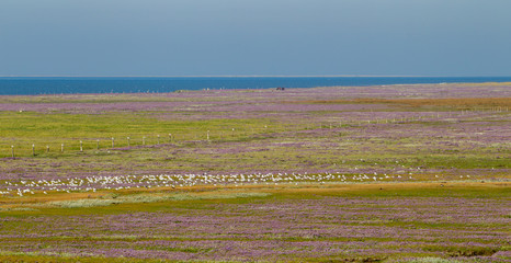 Fototapete - Purple flowers blooming on the salt marshes on the East Frisian Island Juist in the North Sea, Germany.