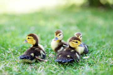 Many little ducklings on the grass. The concept of pets, farm, farming