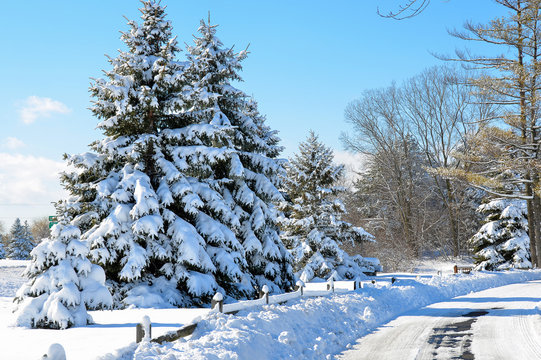snow covered pine trees with fence and road in winter park