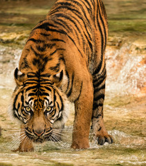 Beautiful female Sumatran tiger