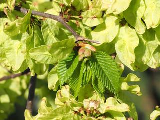 Nach der Blüte treibt die Ulme die ersten Blätter im Frühlingsgarten