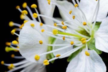 Obraz Zbliżenie na kwitnący kwiat wiśni - fototapety do salonu