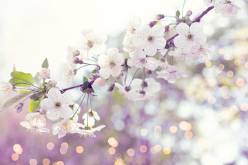Wall Mural - Mysterious spring floral background with blooming white sakura cherry flowers blossom and glowing bokeh