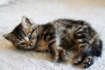 Little tabby color kitten. Scottish Straight.