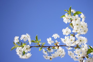Beautiful cherry tree blooming branch flowers closeup on clear blue sky background - blank with copyspace