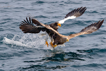 Steller's sea eagle and White-tailed eagle hunting a same fish