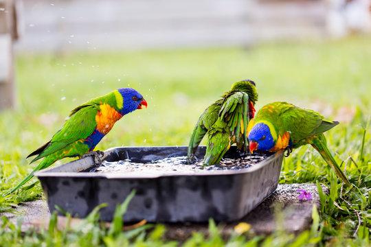 Parrots in a garden, Australia.