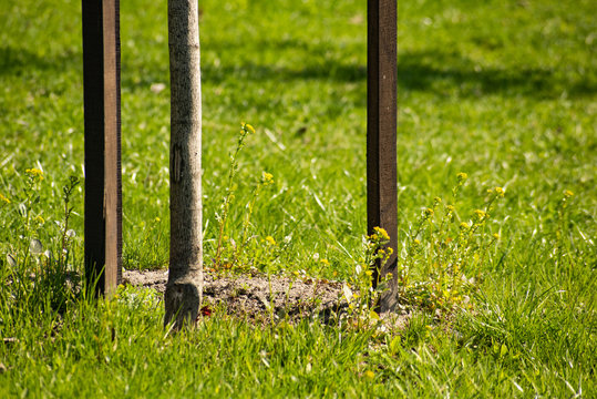 Planted young tree with stakes on grass background