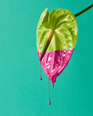 Green anthurium colored pink paint