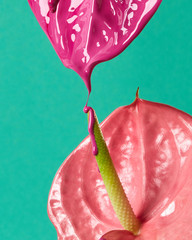 Flamingo flower or anthurium with drops of paint on a green background