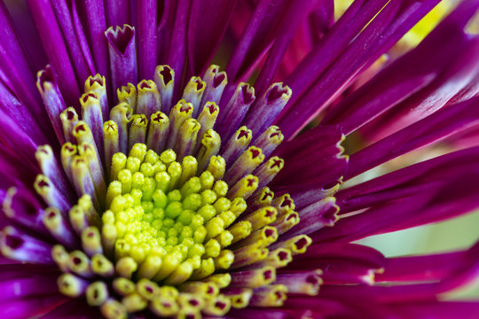 Macro of center of pink and yellow flower