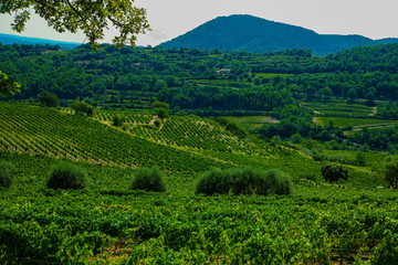 Fototapete - Landscape with green vineyards in Luberon, Privence, France
