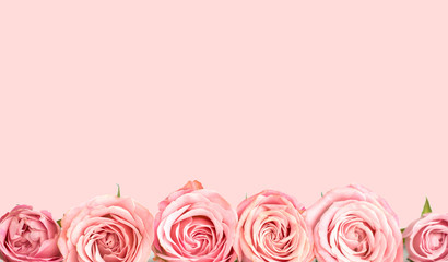 Pink roses on the pink background. Flower card
