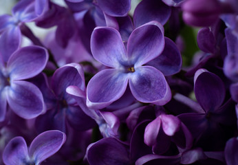 Beautiful purple lilac flowers. Macro photo of lilac spring flowers. Wall mural