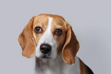 Head of beagle. Close-up of beagle head against white background.