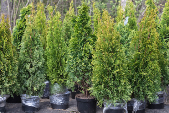 Cultural garden evergreen conifers trees for sale standing on the street. A young green thuja ready for change in soil