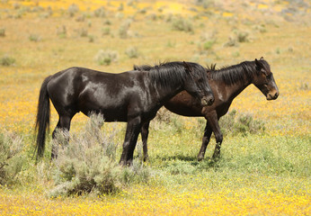Wild horses running in a yellow flower meadow in the spring time.