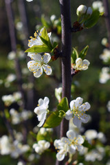White plum flowers on the branch.