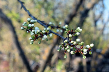 Not blooming buds of plum flowers.