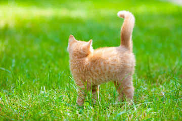 Red kitten walking on the grass in the summer garden