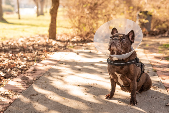 Old french Bulldog with vet plastic Elizabethan collar sitting on the street