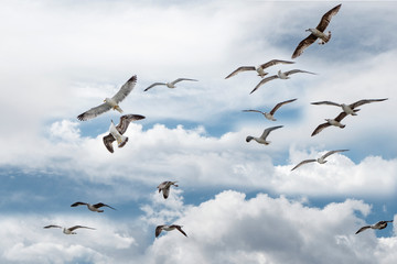 Seagull in flight in the clouds