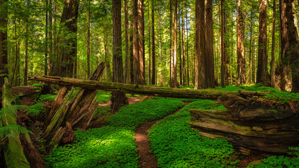 Redwood Forest Landscape in Beautiful Northern California Wall mural