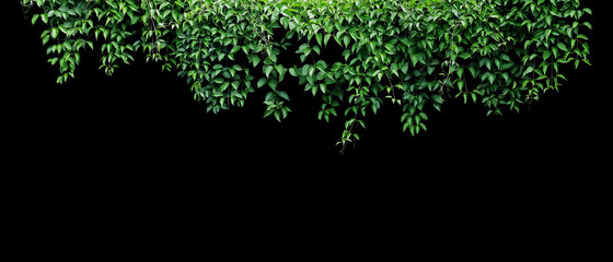 Hanging vines ivy foliage jungle bush, heart shaped green leaves climbing plant nature backdrop banner isolated on black background with clipping path. Wall mural