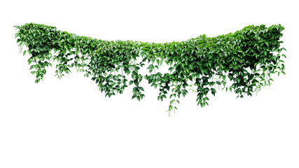 Hanging vines ivy foliage jungle bush, heart shaped green leaves climbing plant nature backdrop isolated on white background with clipping path.