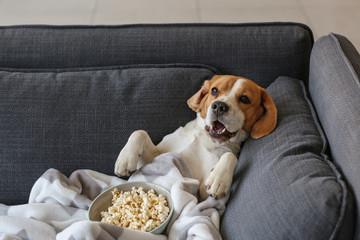 Foto op Plexiglas Hond Cute funny dog with tasty popcorn lying on sofa at home