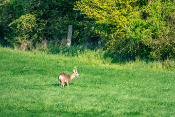 a young deer runs across a green meadow and eats grass