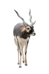 Foto op Canvas Antilope antelope ( antilope cervicapra) isolated