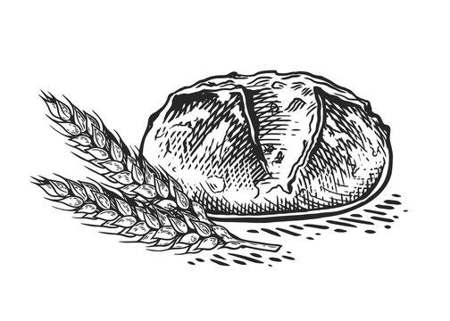 bread wheat sketch