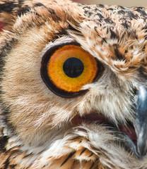 Close-up of the big orange eye of an Eurasian / European eagle-owl