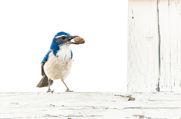 Scrub Jay perching on a fence, holding a pecan in its beak, in Northern California