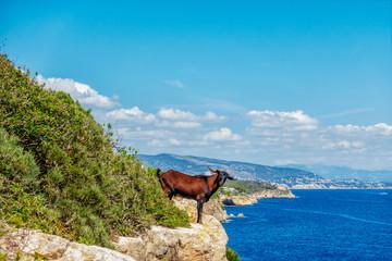 Landschaftsgestalter des Mittelmeers: Ziege am Küstensteilhang bei Portals Vells auf Mallorca
