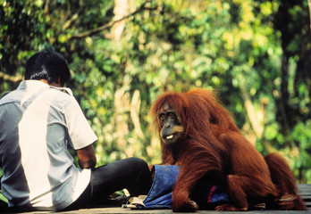 fütterung der orang-utan auf sumatra Wall mural