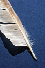 Feather On Blue