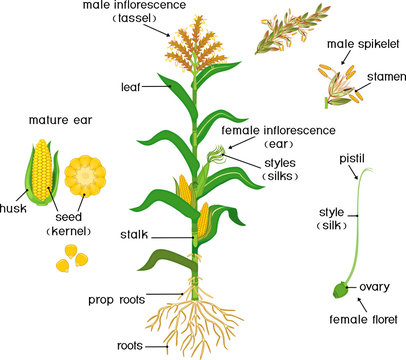 Parts of plant. Morphology of corn (maize) plant with green leaves, root system, fruits and flowers isolated on white background with titles