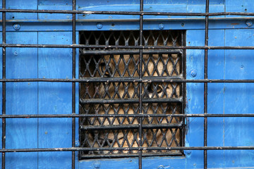 Lenci, 10, a male lion looks out of a temporary transport cage in Tirana Zoo