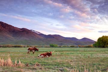 Wall Mural - Two Texas Lonhorn Bulls in a rural field, Utah, USA.