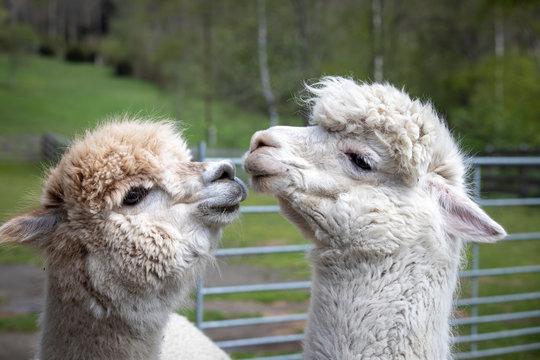 flock of alpacas