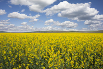 Raps field with blooming flowers in a beautiful sunny day of spring