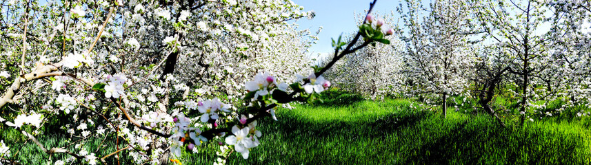 panorama of flowering apple orchard in spring