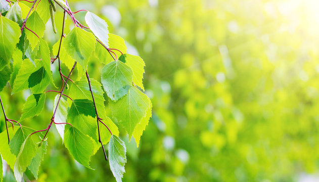 Young green birch leaves in bright sunshine with copy space_