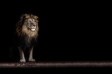 Wall Murals Lion Portrait of a beautiful lion and copy space. Lion in dark