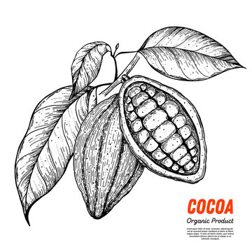 Cocoa beans vector illustration. Hand drawn sketch. Chocolate design. Chocolate beans. Vintage illustration.